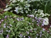 Pulmonaria and brunnera