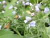 Honeybees on pulmonaria
