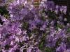 Rhododendron 'Herbert'