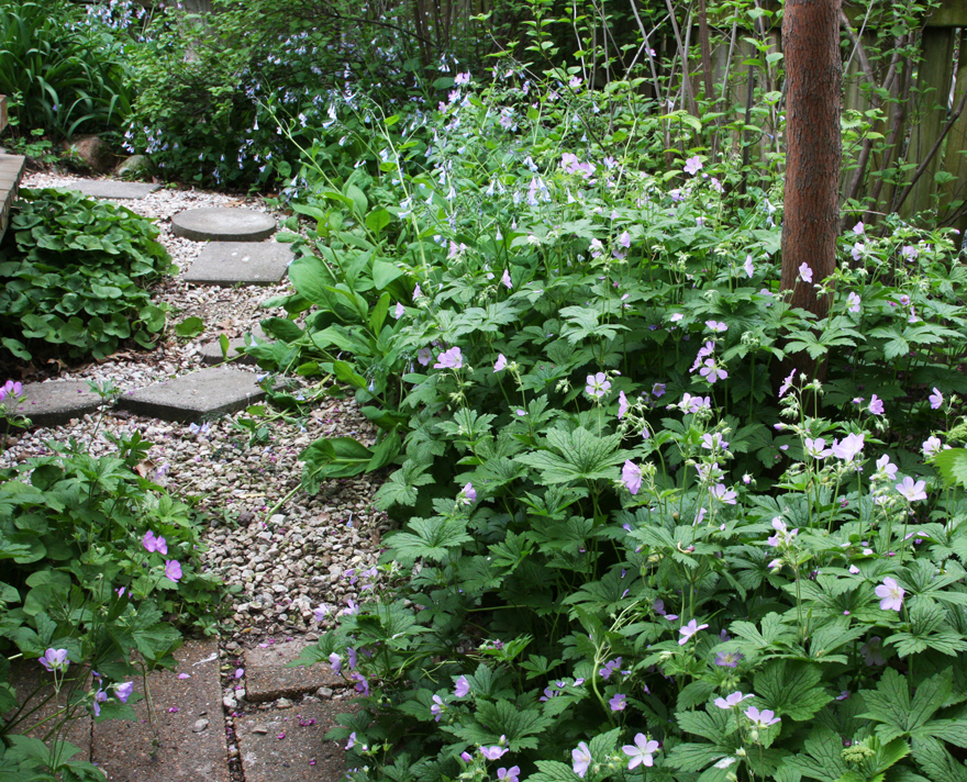 Wild geranium and bluebells
