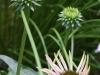 Coneflower and honeybee
