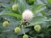 Buttonbush Bumblebee