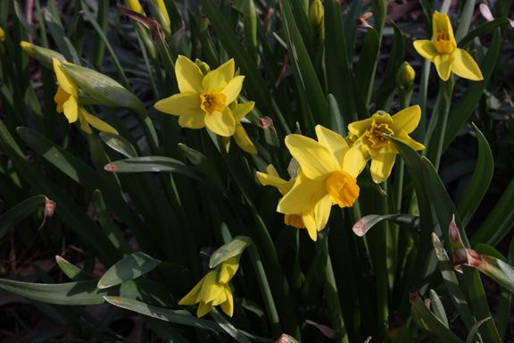 Jetfire Daffodils