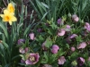 Daffodils and Lenten Rose