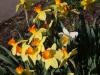 Daffodil Monal