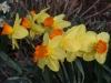 Monal Daffodil