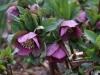 More purple hellebores