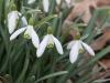 spring snowflake closeup