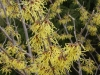 witch hazel 'Arnold's Promise'