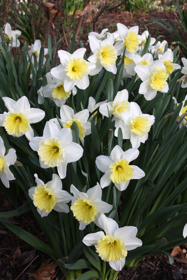 Toby the First Daffodils