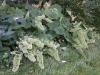 Heuchera villosa var macrorrhiza