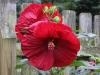 Hibiscus Cranberry Crush