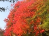 Red maple1