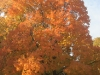 Sugar maple and sweetgum
