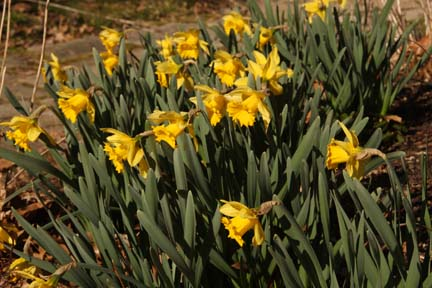 Narcissus \'Rejnveld\'s Early Sensation\'