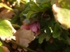 Hellebores, Lenten Rose