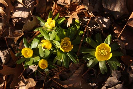 Eranthus, winter aconite