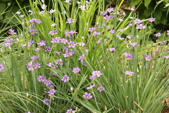 Blue-Eyed Grass Again