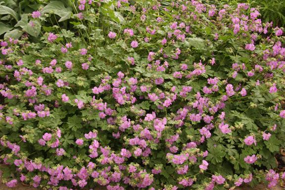 Cambridge Geranium