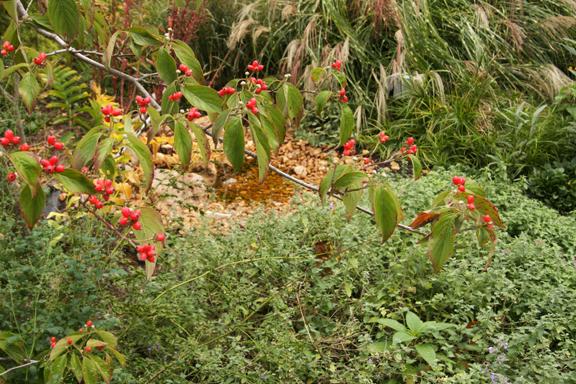 Flowering dogwood berries