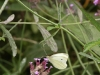 White cabbage butterfly on Verbena bonariensis