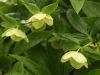 Helleborus spp. Lenten Rose