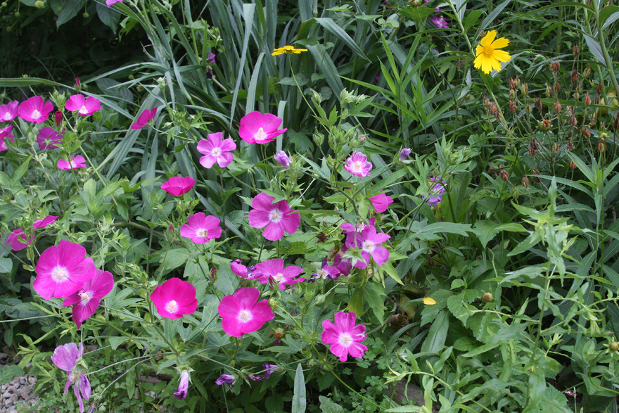 mallow and coreopsis 1