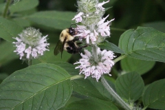 Hairy woodmint
