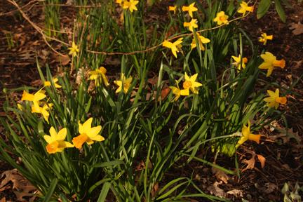 Narcissus \'Jetfire\'