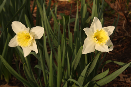 Narcissus large cup