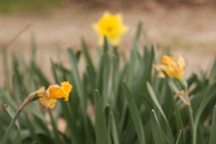 Narcissus \'Rijnveld\'s Early Sensation\'
