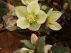 White and pink Lenten rose