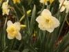Narcissus \'Erlicheer\'
