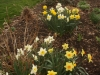 Narcissus in the Plant of Merit Garden