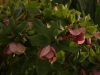 Purple Lenten rose