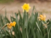 Narcissus \'Rijnveld\'s Early Sensation\'
