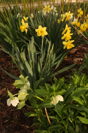 White Lenten rose and Narcissus