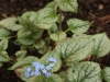 Brunerra macrophylla \'Jack Frost\'