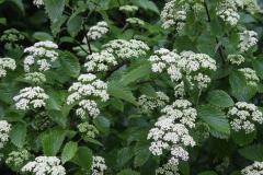 Arrowwood viburnum