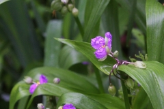 Woodland spiderwort