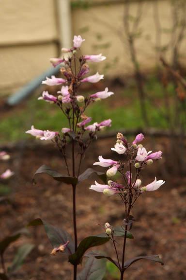 Purple Penstemon, Beardtongue