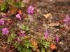 Cranesbill geranium \'Bevan\'s Variety\'