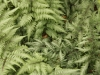 Painted Japanese Fern
