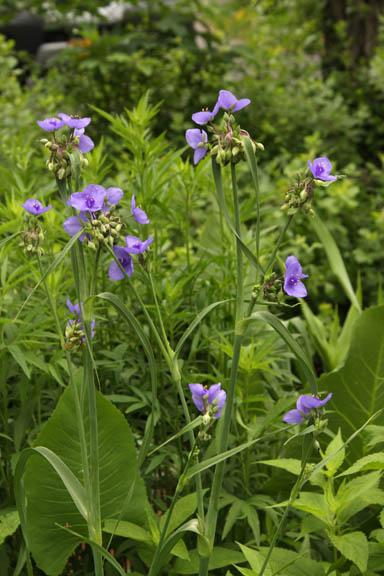 Tradescantia, spiderwort