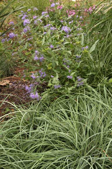 Carex Blue Zinger