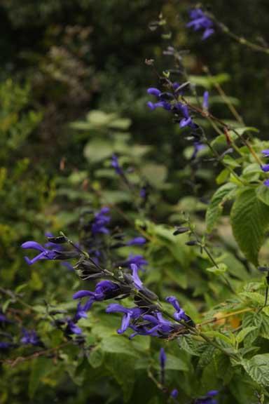 Salvia \'Black and blue\'