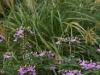 Spiderflower and Miscanthus