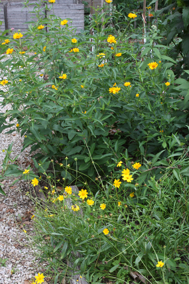 Coreopsis and Sunflower