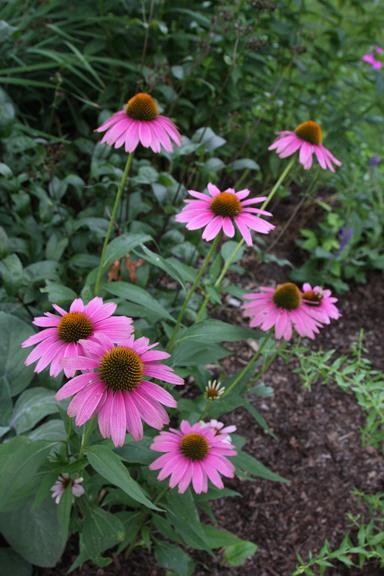 Echinacea 'Little Annie' again