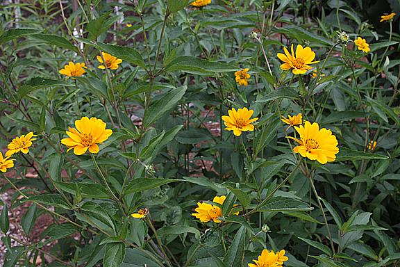 Ox-eye sunflower